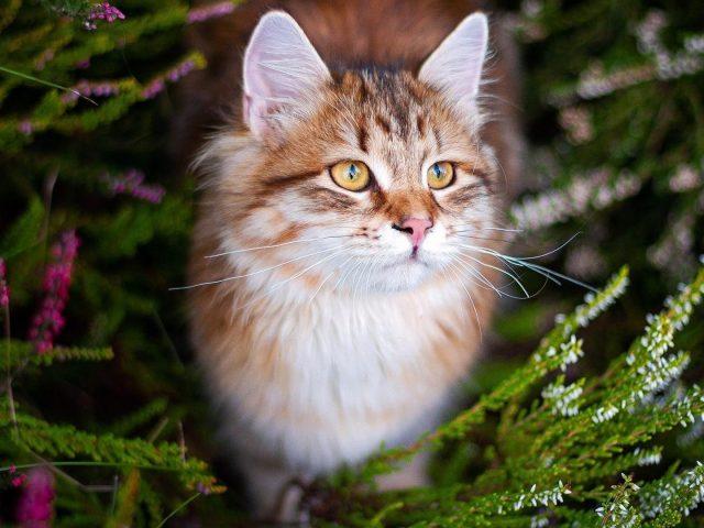 Желтые глаза коричнево-белая кошка с пристальным взглядом кошки