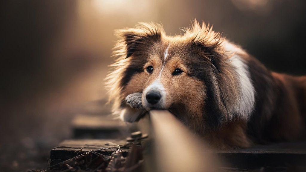 Собака домашнее животное шотландская овчарка обои скачать