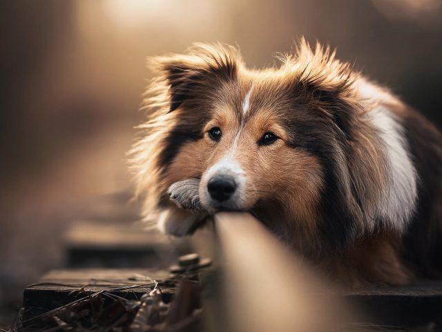 Собака домашнее животное шотландская овчарка
