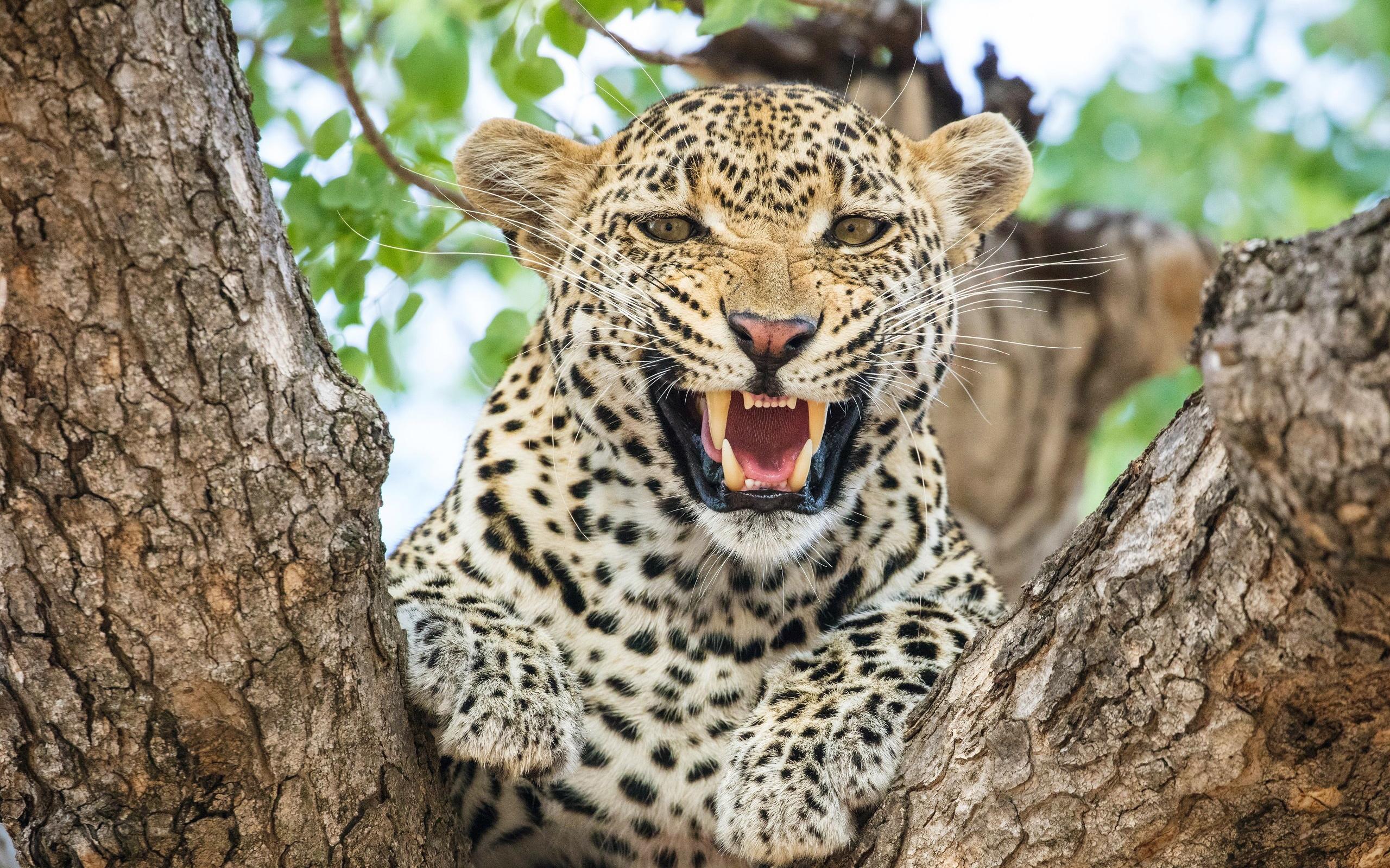 Леопард. обои скачать