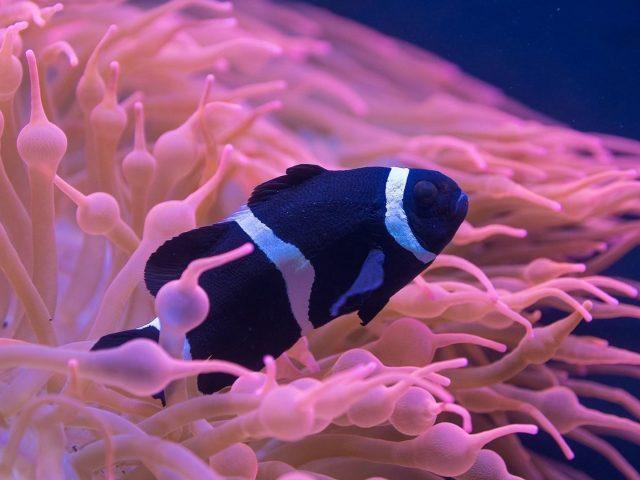 Черный белый ocellaris рыба клоун подводные животные
