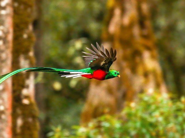Красно зеленый блистательный кетцаль летит в синем лесу фоновые животные