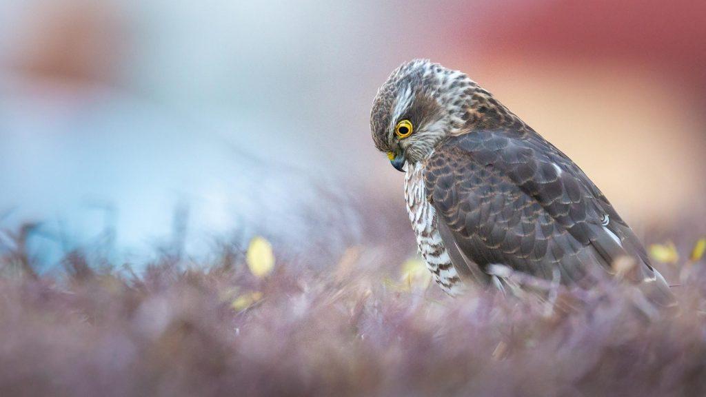 Желтые глаза хищной птицы ястреба-перепелятника смотрят вниз птицы обои скачать
