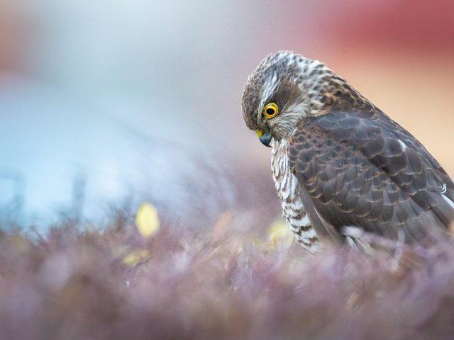 Желтые глаза хищной птицы ястреба-перепелятника смотрят вниз птицы