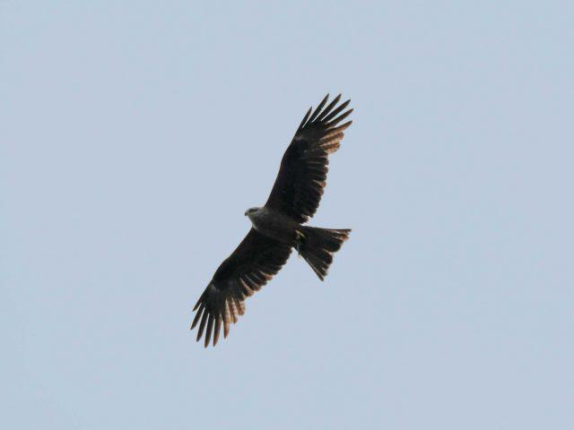 Ястреб птица полет крылья хищник