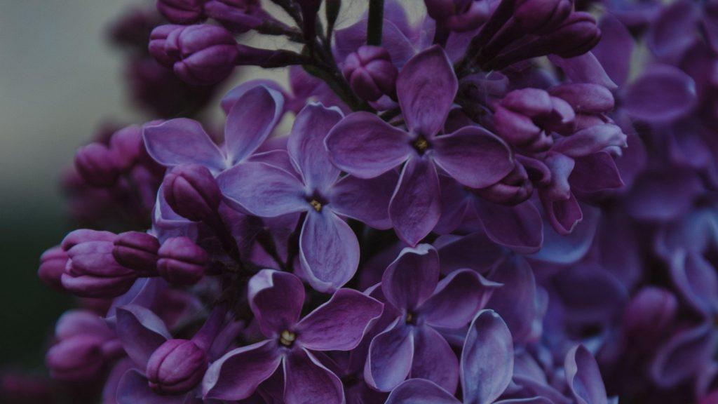 Сиреневые соцветия цветы цветочные цветы обои скачать