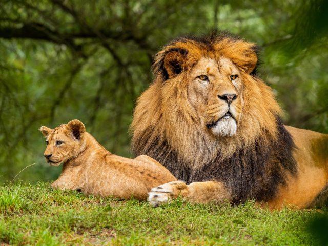 Большой лев лежит на зеленой траве на фоне леса с детенышем Льва животных