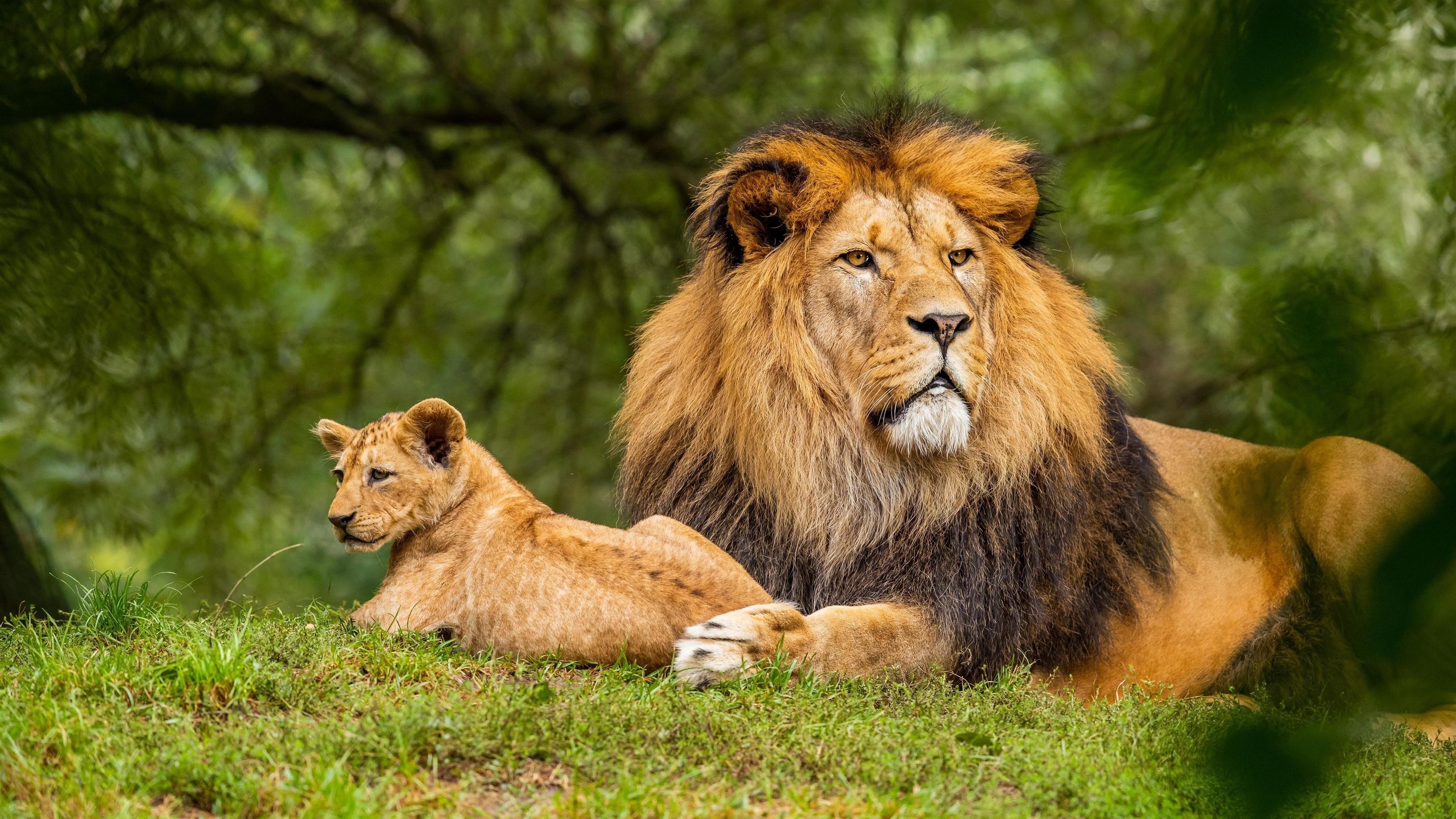 Большой лев лежит на зеленой траве на фоне леса с детенышем Льва животных обои скачать