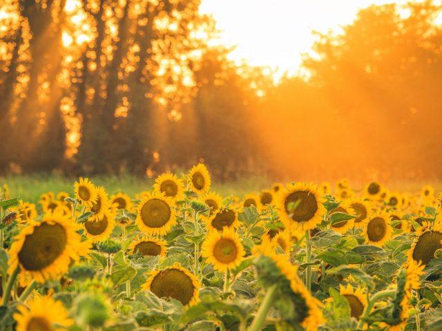Желтые подсолнухи полевые солнечные лучи во время заката цветы