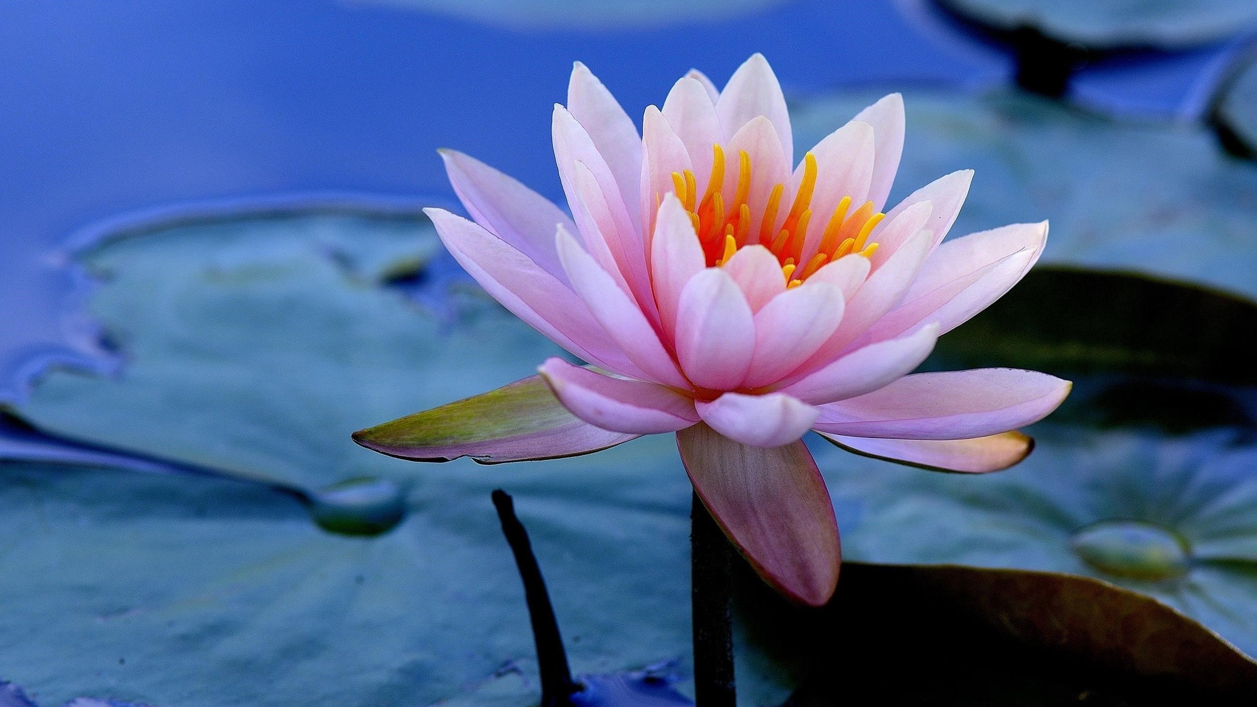 Розовый цветок водяной лилии зеленые листья цветы обои скачать