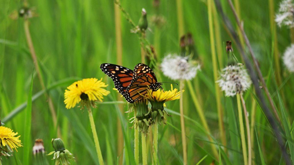 Коричнево-желтые точки бабочка на желтом цветке на фоне цветов одуванчика бабочка обои скачать
