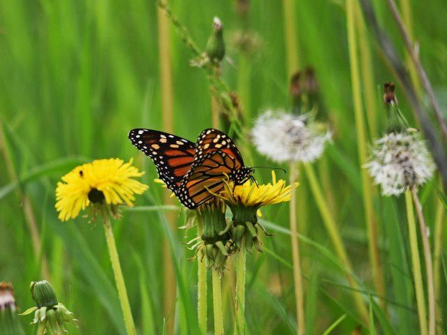 Коричнево-желтые точки бабочка на желтом цветке на фоне цветов одуванчика бабочка