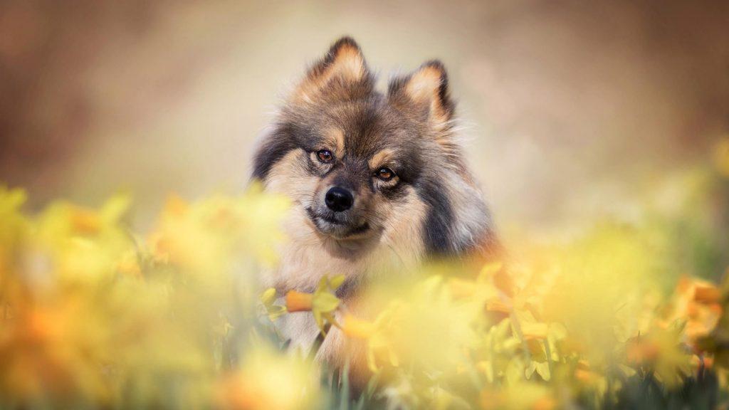 Нарцисс шпиц собака стоит в цветочном поле собака обои скачать