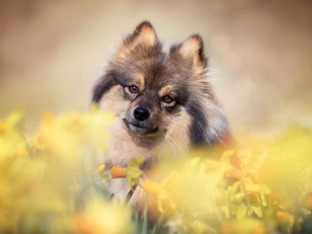 Нарцисс шпиц собака стоит в цветочном поле собака
