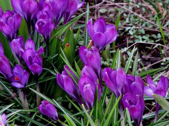 Пурпурные подснежники весенние травяные цветы