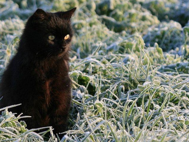 Желтые глаза темно-черная кошка котенок на замерзшей зеленой траве милая кошка