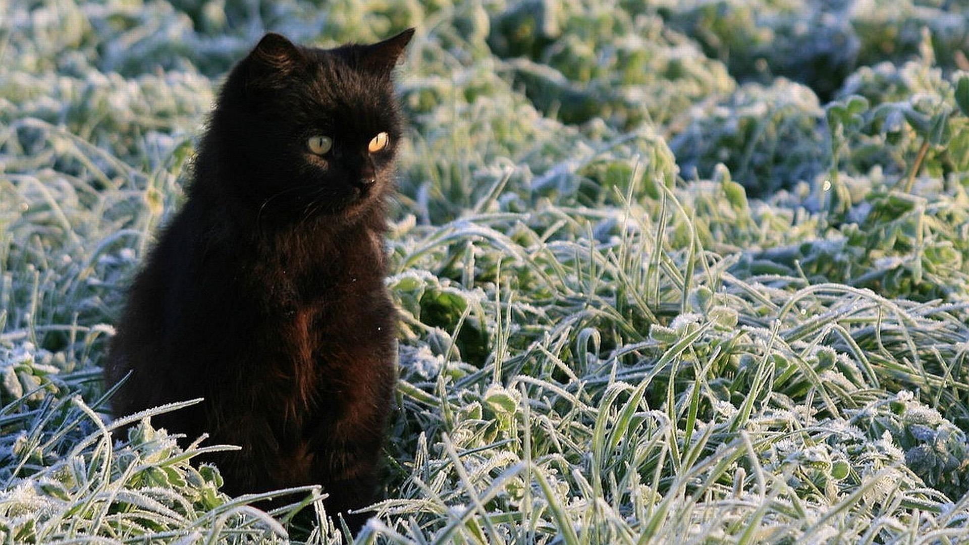 Желтые глаза темно-черная кошка котенок на замерзшей зеленой траве милая кошка обои скачать