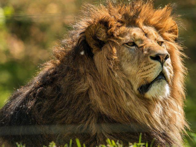 Животное Лев 2 животных