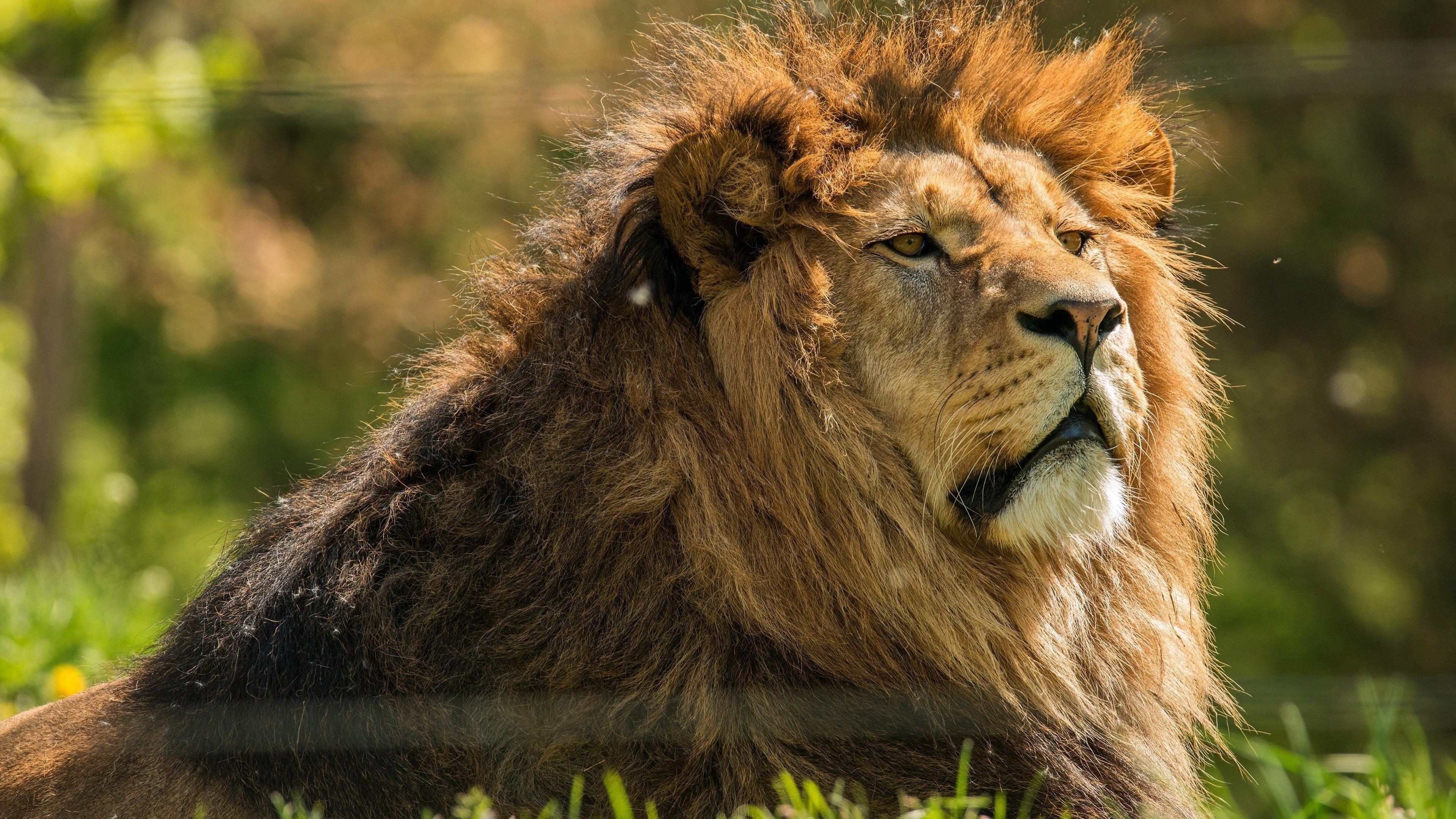 Животное Лев 2 животных обои скачать