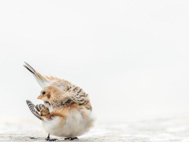 Бело коричневая овсянка птица на белом фоне животные