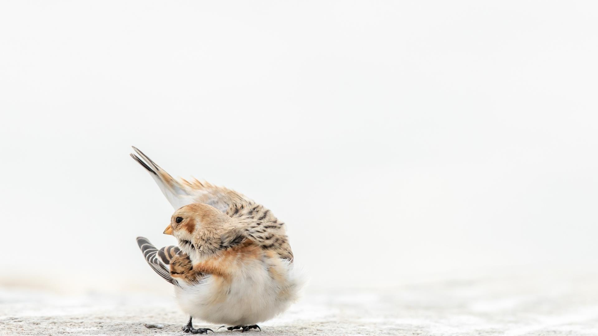 Бело коричневая овсянка птица на белом фоне животные обои скачать