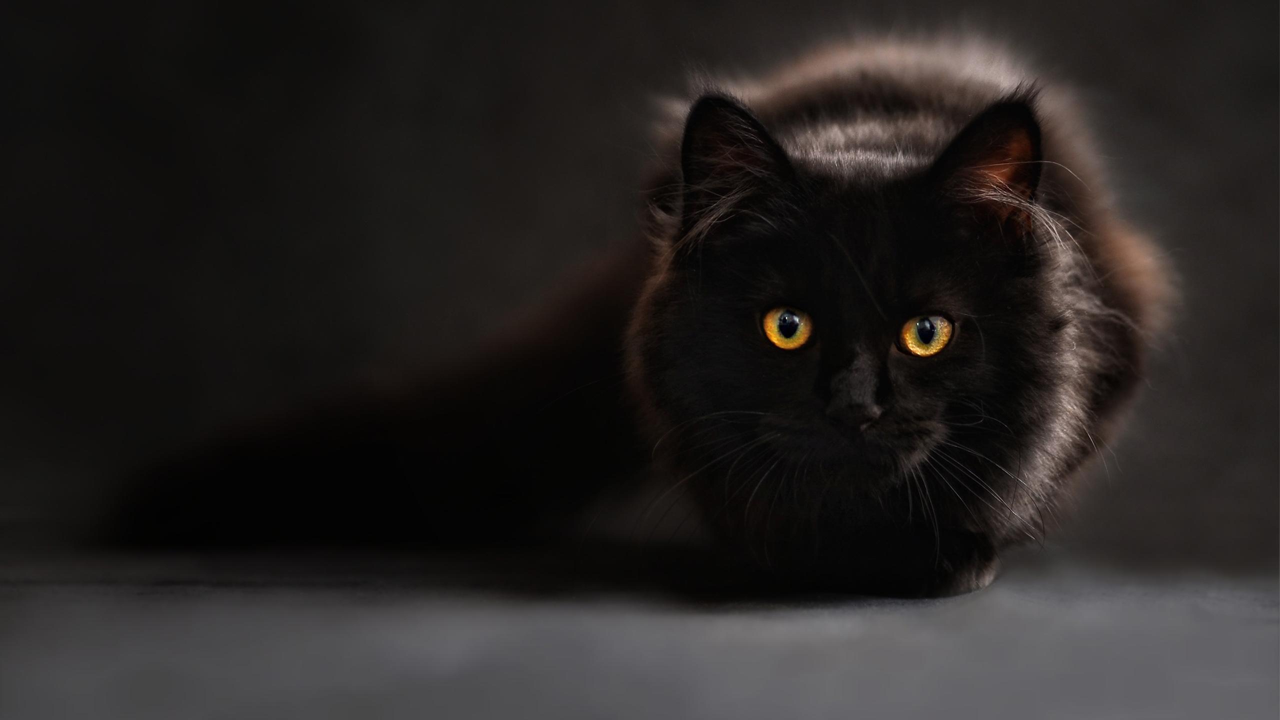 Черный кот. обои скачать