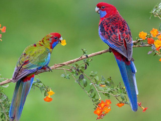 Красные синие птицы на ветке дерева в сине зеленом фоне птицы