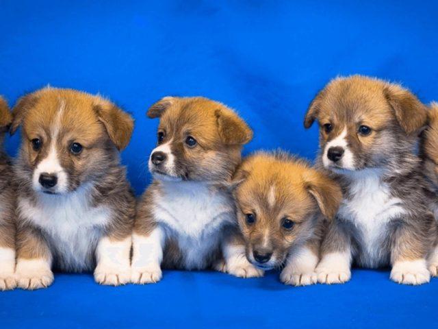 Кучка коричневых белых черных щенков на синем фоне собака