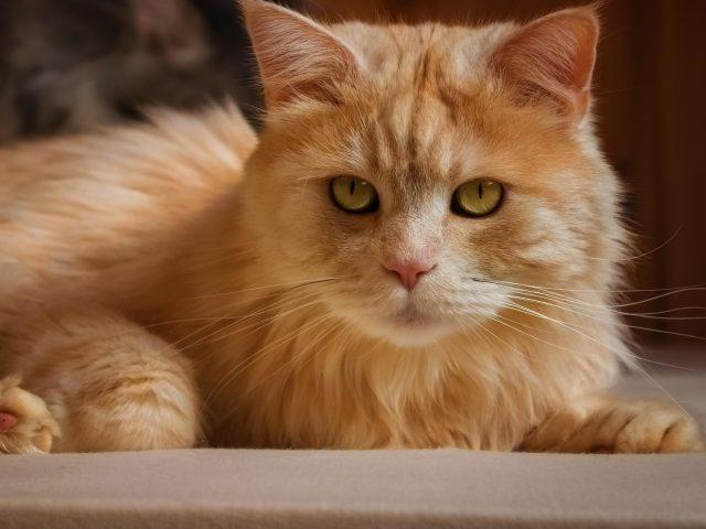 Желтый кот лежит на полу и смотрит в камеру животных