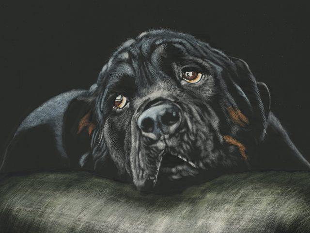 Черный ротвейлер собака породы