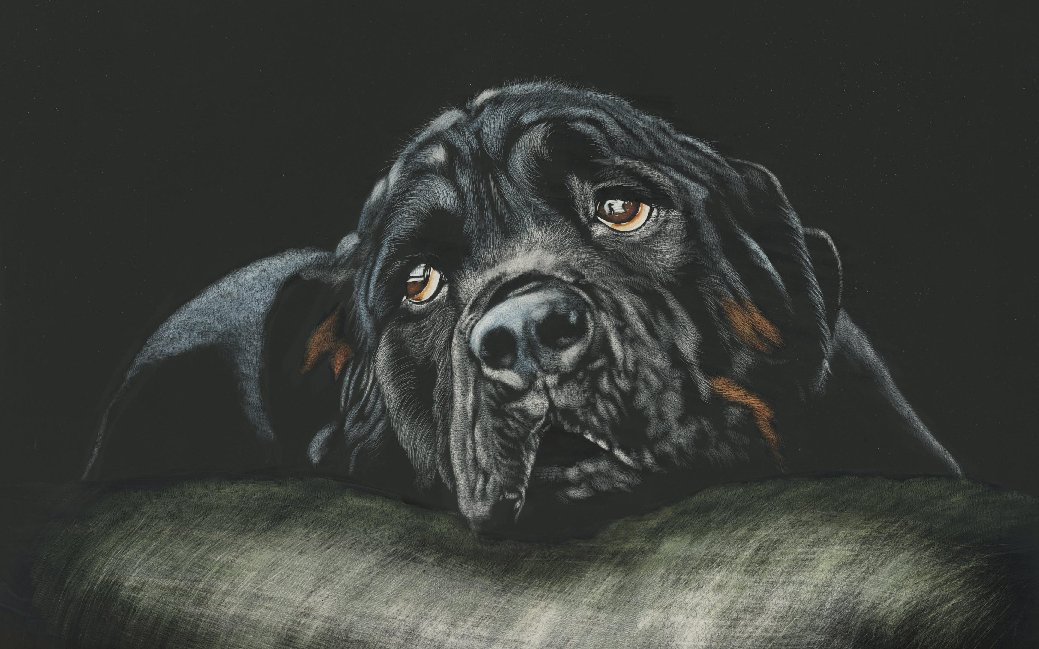 Черный ротвейлер собака породы обои скачать