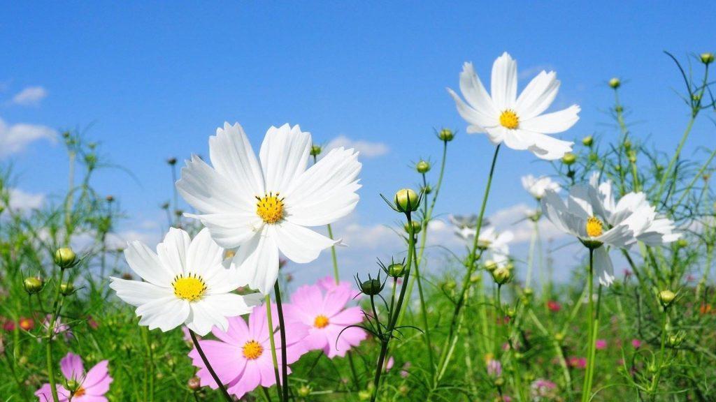 Космея цветы поля зеленые под голубым небом цветы обои скачать