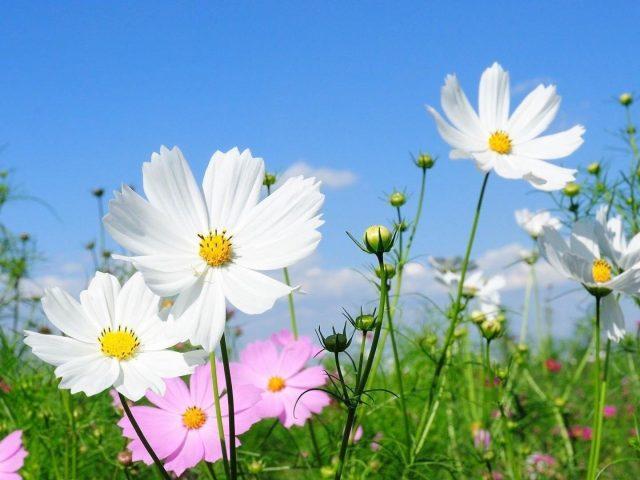 Космея цветы поля зеленые под голубым небом цветы