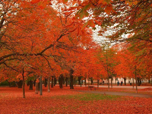 Красные осенние лиственные деревья в парке с деревянными скамейками природа