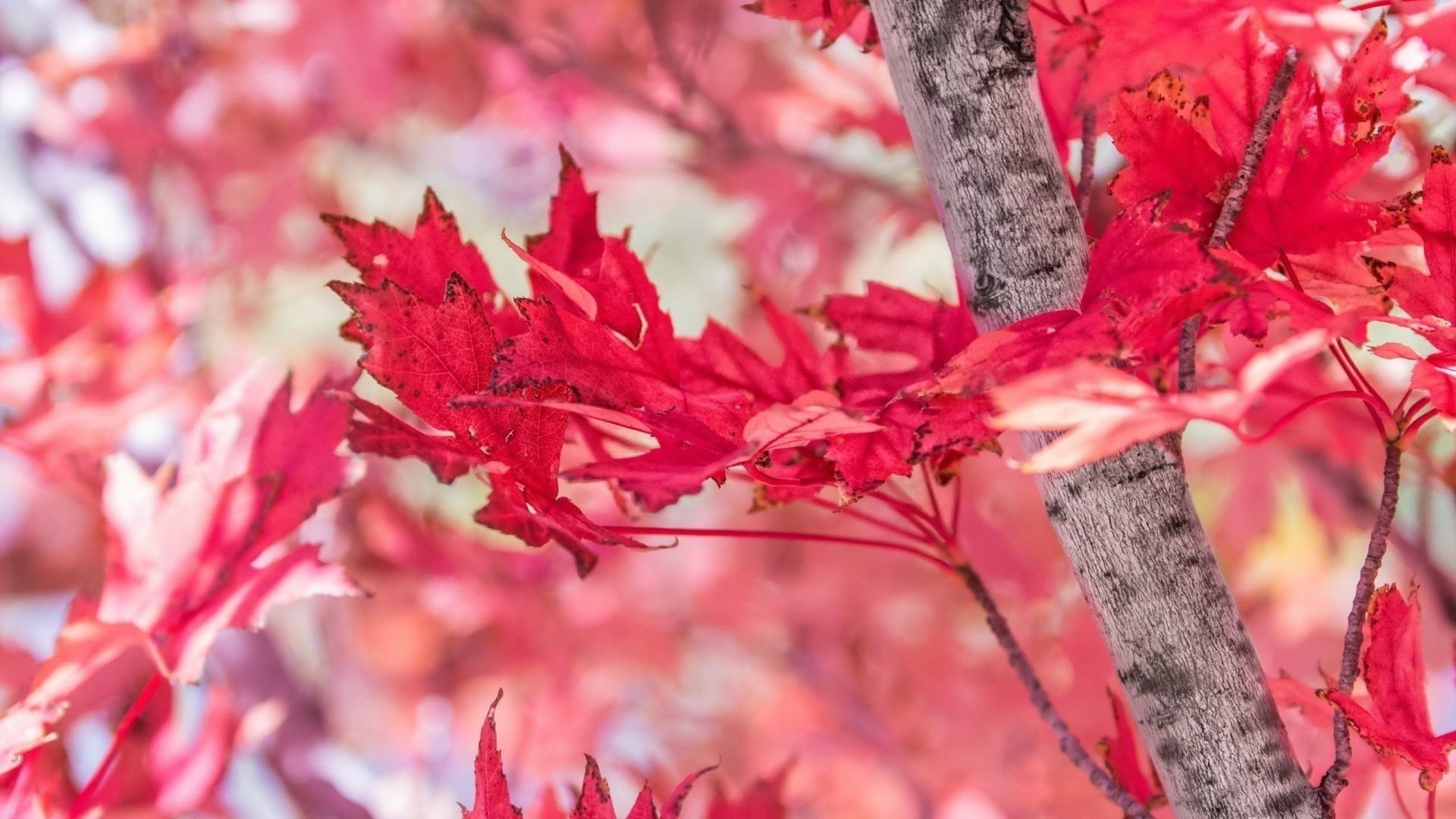 Крупным планом вид красных осенних листьев на синем фоне природы обои скачать