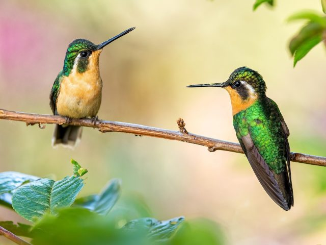Острый нос зелено желтые колибри сидят на стебле в размытом фоне птицы