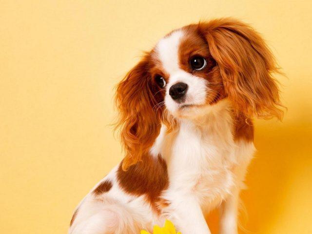 Темно-коричневая белая собака щенок на желтом фоне собака