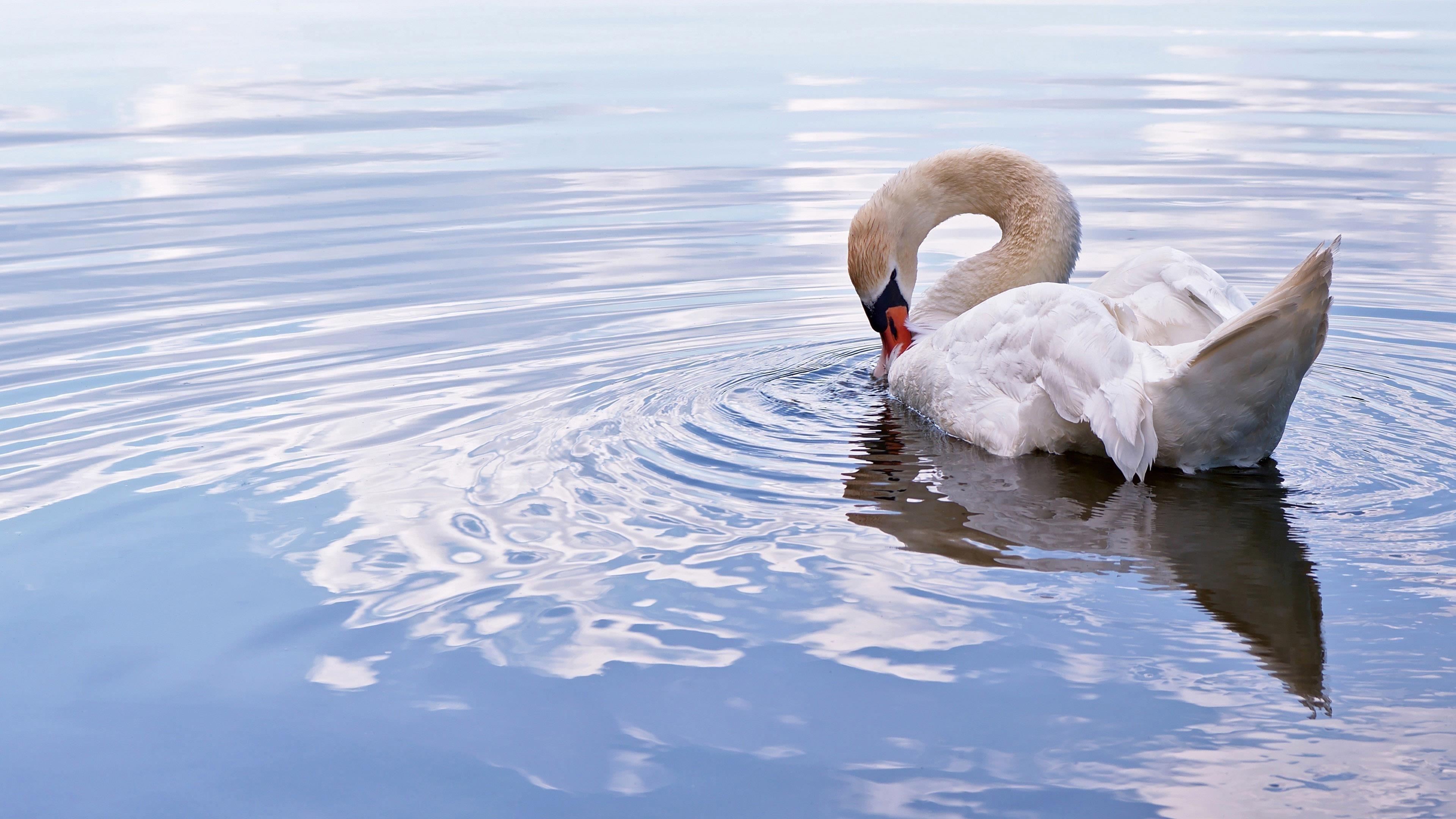 Животное немой лебедь обои скачать