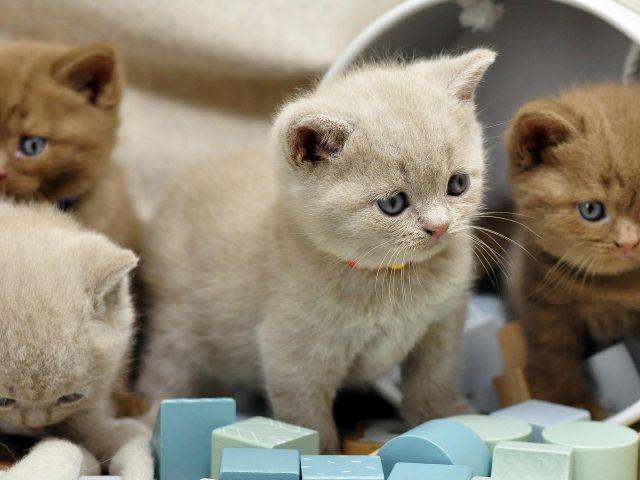 Коричнево белые британские короткошерстные котята играют с пластиковой коробкой котенка