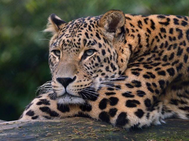 Леопард ультра HD
