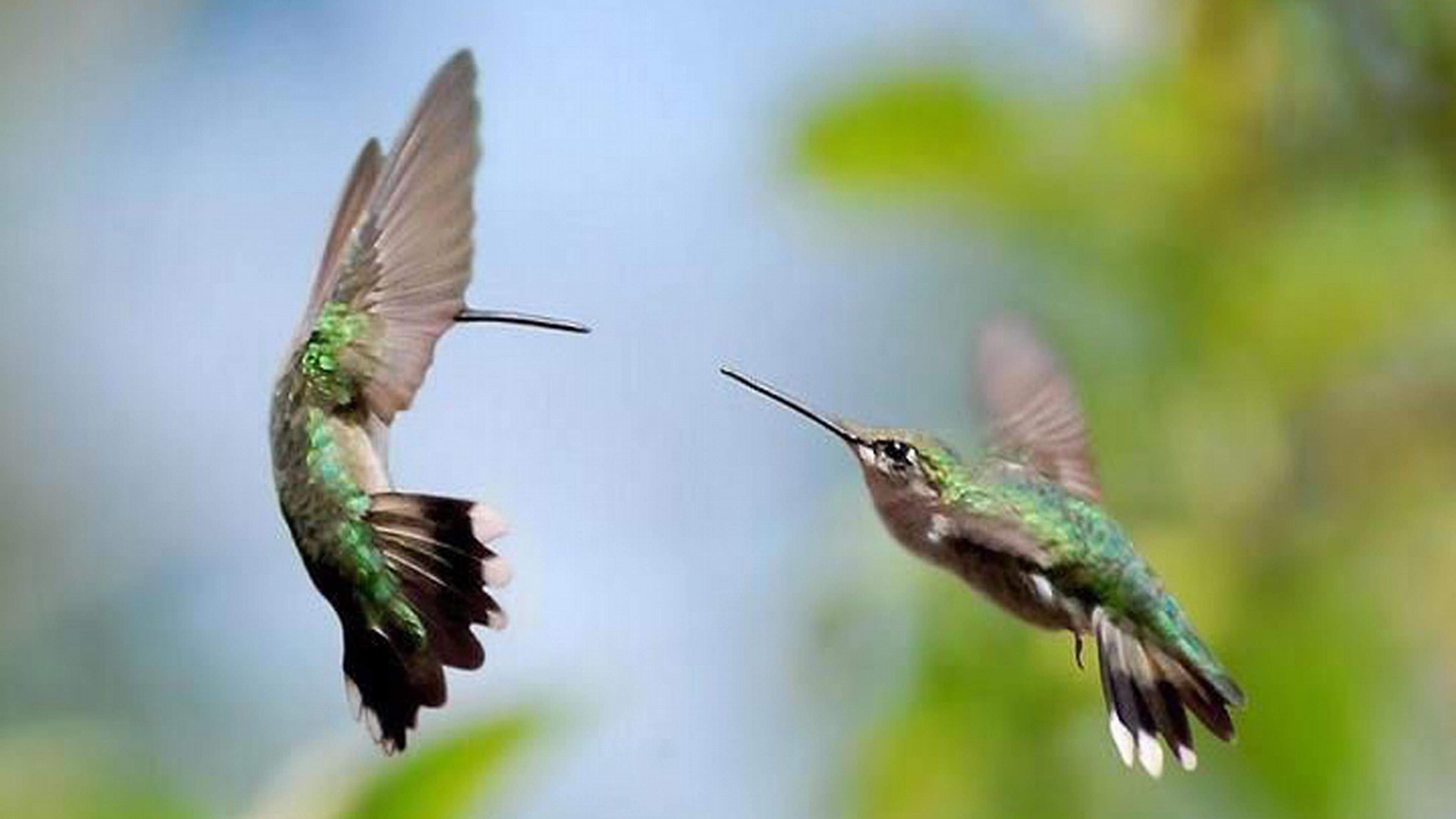 Колибри обои скачать