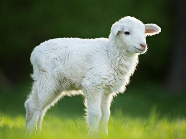 Белый ягненок стоит на зеленой траве на размытом фоне ягненка