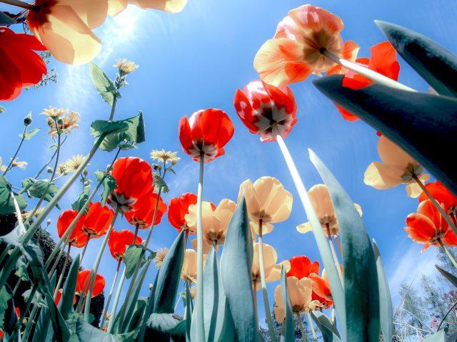 Цветут маки