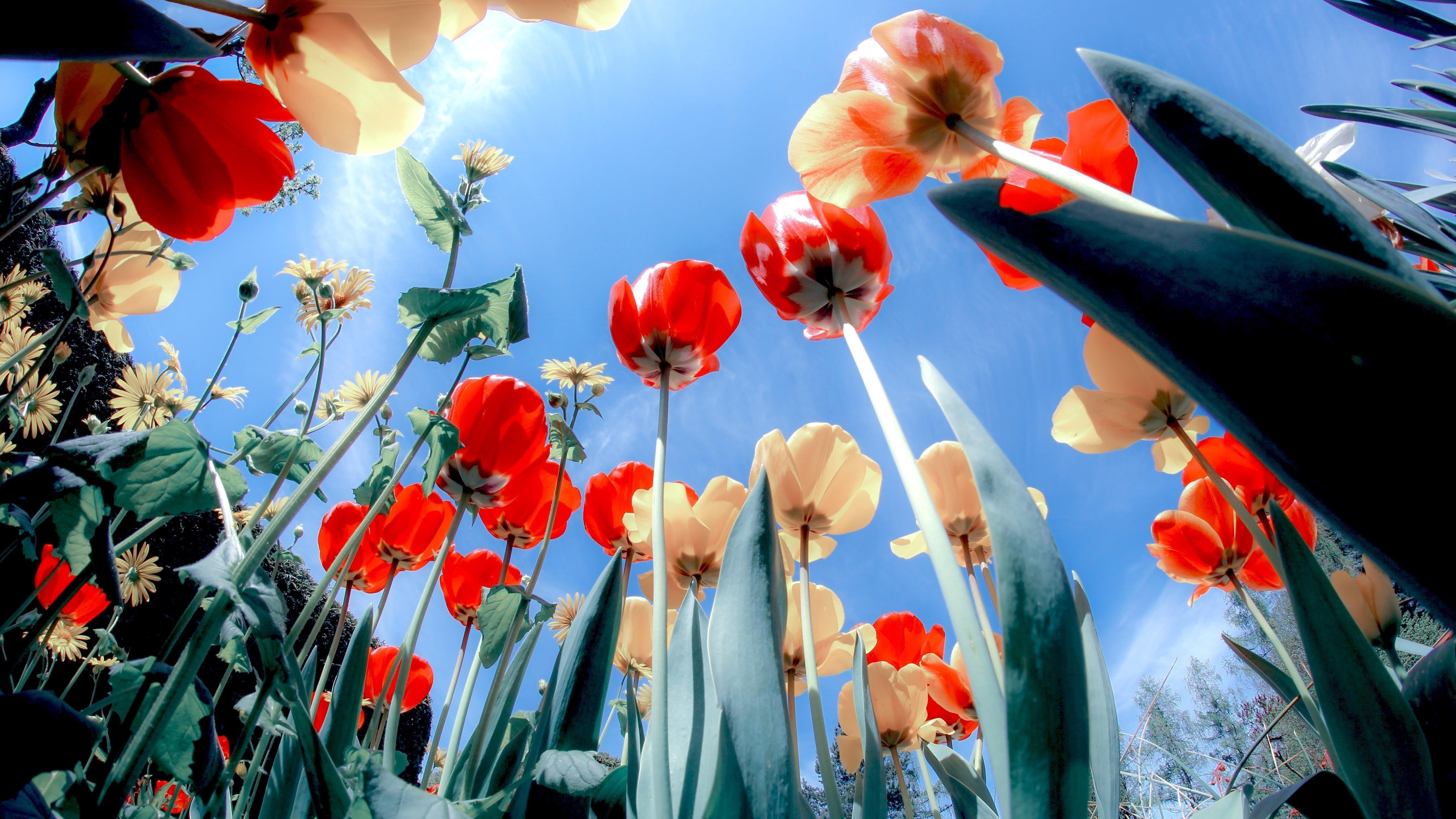 Цветут маки обои скачать