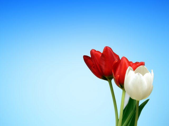 Весенние тюльпаны красный белый