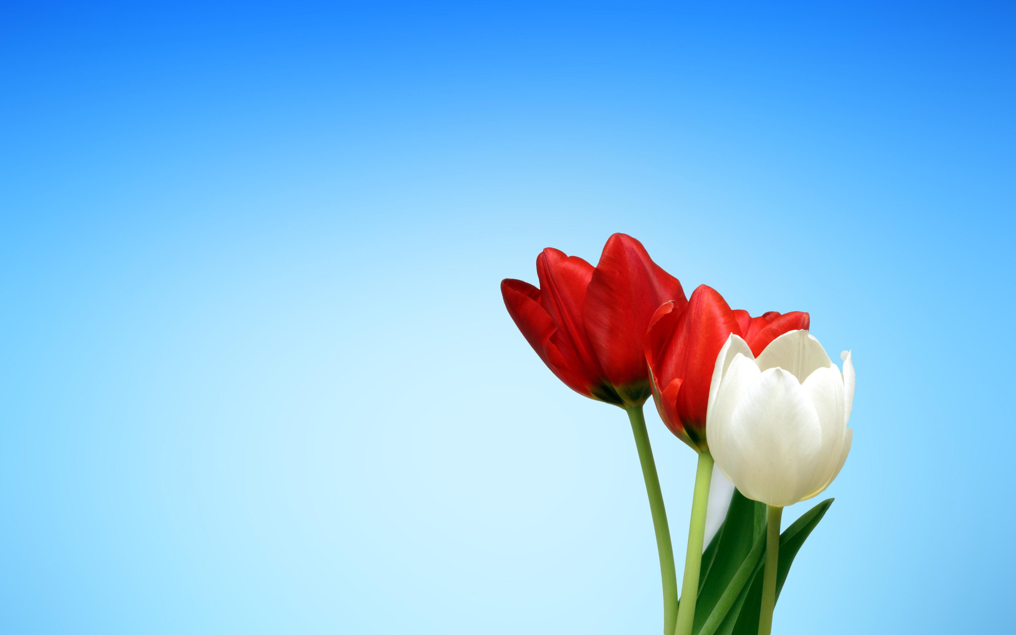 Весенние тюльпаны красный белый обои скачать