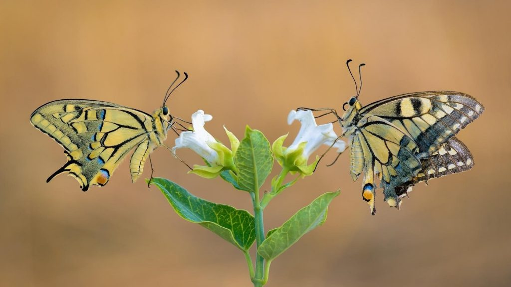 Бабочки с ласточкиным хвостом на белых цветах на синем фоне бабочки обои скачать