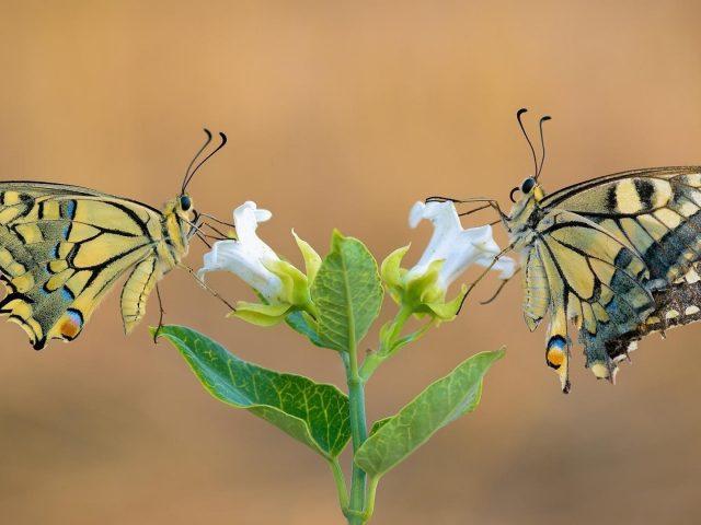 Бабочки с ласточкиным хвостом на белых цветах на синем фоне бабочки