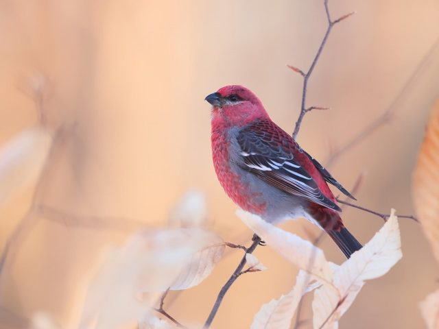 Красно-черная сосновая клювастая птица на размытом фоне птицы