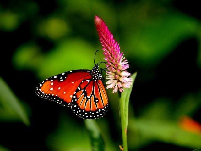 Красные черные линии, выполненные бабочкой на розовом цветке на сине-зеленом фоне бабочки
